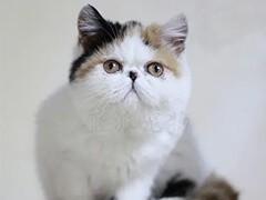 小米貓苑加菲貓多只在售 簽協議包健康CFA貓舍專業繁殖