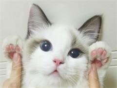 蚌埠纯正英短优质品种,大包子脸蓝猫出售,疫苗已经做完