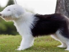 冠軍后代雙血統古代牧羊犬一窩 證書可查可以看狗父母