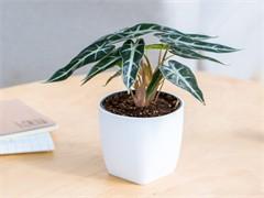 重庆办公室植物盆栽出租公司