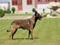 冠軍后代雙血統馬犬一窩 證書可查可以看狗父母