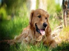 自己家養的雙血統金毛犬 顏值高 忍痛出售