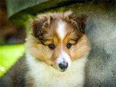 河源售頂級黑背德國牧羊犬 疫苗做好 售后簽訂純種健康質保