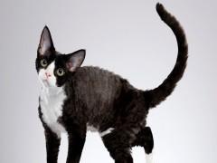 陵水高顏值白甜可愛的無毛貓出售 健康黏人好養活