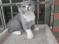 贵阳甜美系列英短 加菲猫