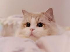 赤峰出售蓝白 蓝猫 银渐层 美短 可免费送猫上门