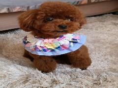賣帶血統的泰迪犬要包健康包純種的