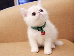 貓苑加菲貓多只在售 簽協議包健康CFA貓舍專業繁殖