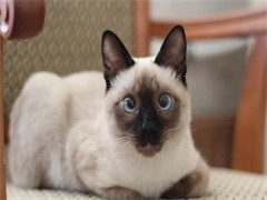 西安出售各品种幼猫 成猫 出售