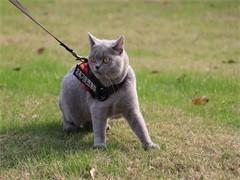 懷化高顏值白甜可愛的拿破侖出售 長毛高地矮腳貓