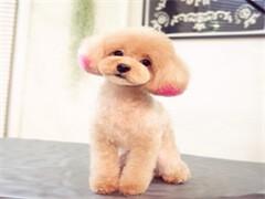出售泰迪犬 泰迪犬出售