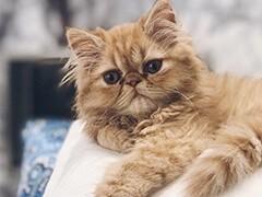 蕪湖本地貓舍出售各類寵物貓 愛寵一家把萌寵帶回家