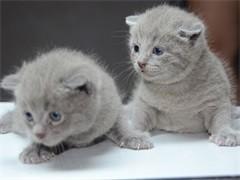 河源CFA貓舍繁殖雙色布偶貓 甜美品相 性格親人