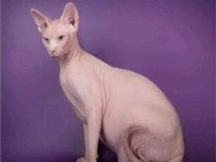 懷化正規貓舍出售美短 藍貓 金吉拉 加菲等