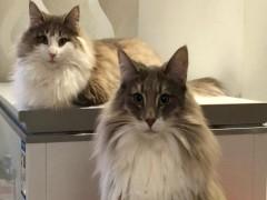 伊春萌宠双色布偶猫 身体健康活泼可爱 品质有保障