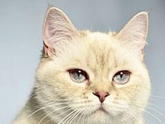 里有短毛猫出售家养纯种短毛猫健康三包品质好血统可查
