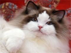 杭州純正英短優質品種,大包子臉藍貓出售,疫苗已經做完
