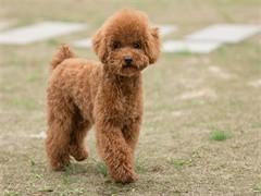 冠軍后代雙血統泰迪犬一窩 證書可查可以看狗父母