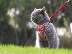 南京CFA專業貓舍 純血統德文卷毛貓 完美品相包養活
