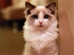 认证猫舍 高品质布偶猫 多只待售 可上门挑选