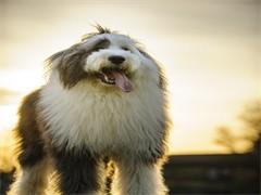 全国连锁双血统古代牧羊犬繁殖基地 本地可上门
