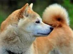 陵水犬舍繁殖自銷 品種齊全包純種