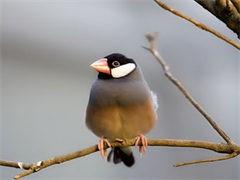 池州观赏蓝孔雀 脱温孔雀幼苗 鑫亚珍禽养殖场