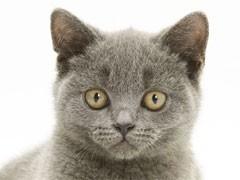 純種短毛貓,貓舍繁殖,健康純種,品質保障