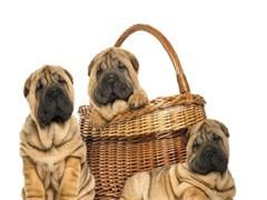 全国连锁双血统沙皮犬繁殖基地 本地可上门
