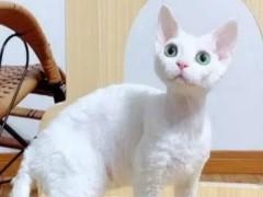 喀什靠譜貓舍出售各類貓咪