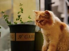 貓舍專業繁殖加菲貓多只在售 簽協議包健康