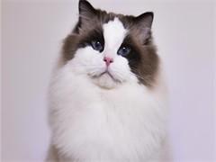 陵水純正英短優質品種,大包子臉藍貓出售,疫苗已經做完