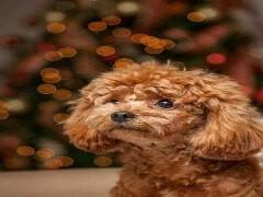 寵物店和狗市里的泰迪犬可以買 健康的錢一只