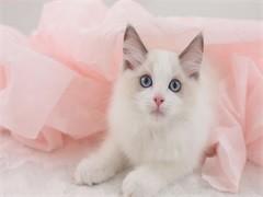 马鞍山纯正英短优质品种,大包子脸蓝猫出售,疫苗已经做完