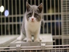 随州布偶猫舍 CFA注册 专职繁育布偶猫 仙女猫