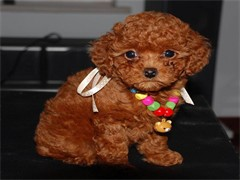 本溪三针做好 出售吉娃娃犬 证件齐全 保健康保纯种保活