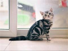伊春布偶猫出售 自家繁育纯种 品相好 高贵优雅