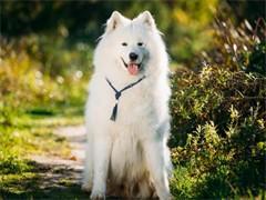 冠军后代双血统萨摩耶一窝 证书可查可以看狗父母