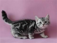 深圳里有卖纯种美国短毛猫 深圳纯种美短里有卖
