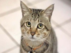 畢節出售折耳貓 金吉拉 多只可選 保證健康
