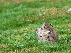 壹家小宠出售各品种 萌乖帅 宠物兔及各种宠物