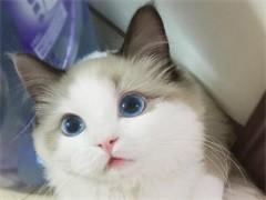 赤峰纯正英短优质品种,大包子脸蓝猫出售,疫苗已经做完