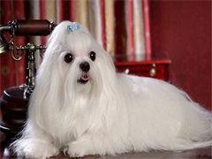 懷化誠信交易 純種薩摩耶犬 保成活簽協議 價格可商量