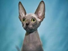 德州性格活泼黏人 超甜美蓝猫宝宝 健康无病无癣包