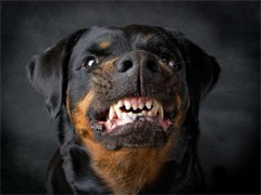 看家护院好帮手 纯种健康守护犬罗威那出售 品质保证
