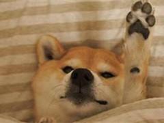 纯种的秋田犬适合小孩养 性格样