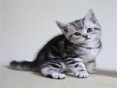 純種虎斑貓,貓舍繁殖,健康純種,品質保障