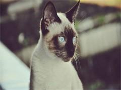 西安CFA猫舍繁殖双色布偶猫 甜美品相 性格亲人