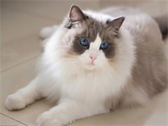 蕪湖高端貓舍繁育帥氣緬因貓 霸氣側漏 性格溫順不抓人
