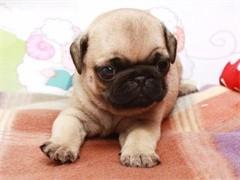 自己家養的雙血統巴哥犬 顏值高 忍痛出售